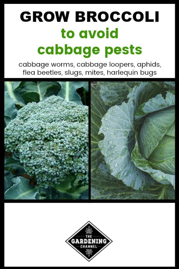 broccoli plant and cabbage with text overlay grow broccoli to avoid cabbage pests