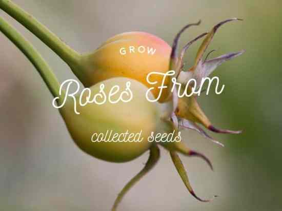 How to Collect Rose Seeds and Grow Roses