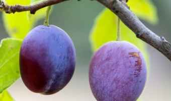Thin Your Fruit to Prevent Rotting in Backyard Orchards