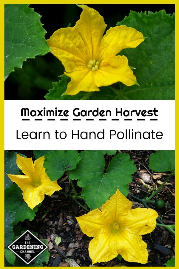 close up of melon and cucumber flowers with text overlay maximize garden harvest learn to hand pollinate