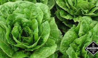 Grow Lettuce Year Round