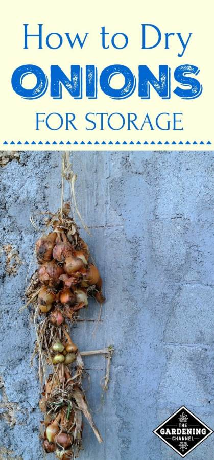 dry onions for storage