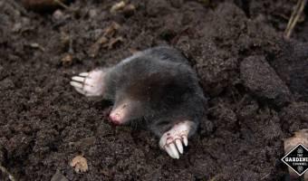 moles in garden