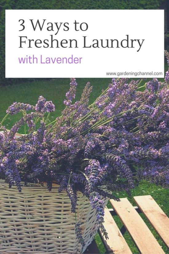 3 Ways to Freshen Laundry with Lavender Flowers