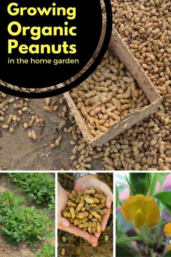 Home Gardening Peanut Growing Tips