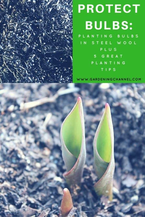 protect bulbs planting tips
