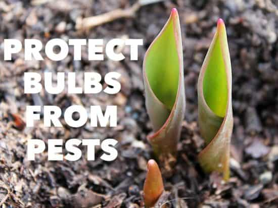Tips for Protecting Bulbs from Pests