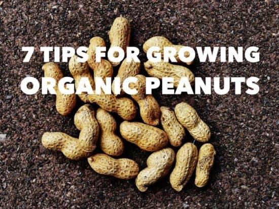 Gardening Tips for Growing Organic Peanuts