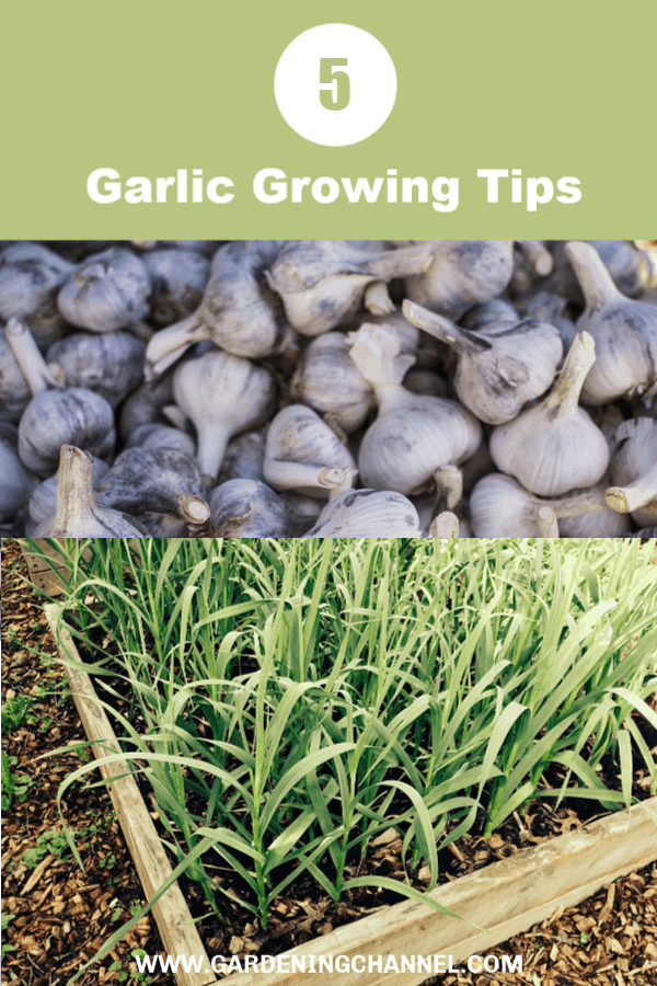 fresh garlic harvest garlic growing with text overlay garlic growing tips