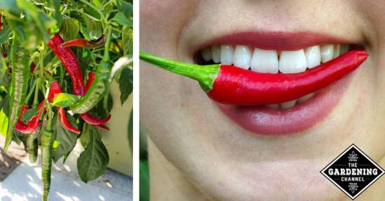 hot peppers extend lifespan