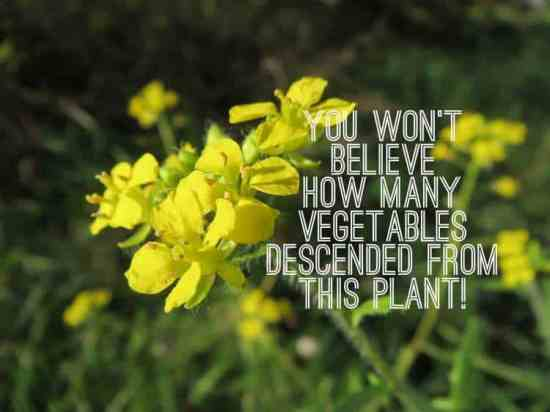 plants that descended from wild mustard