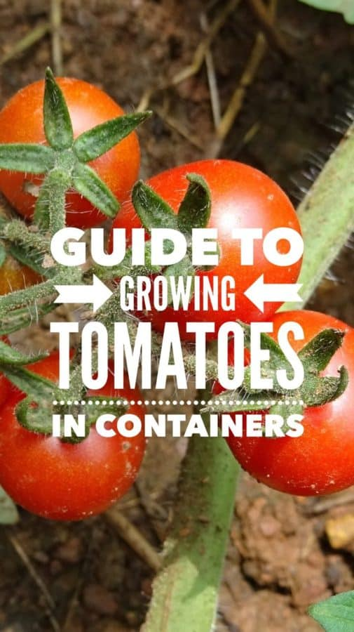 Guide to Growing Tomatoes in Containers
