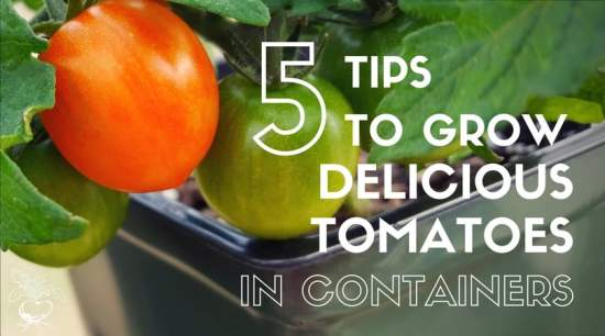 grow tomatoes in containers with these 5 tips