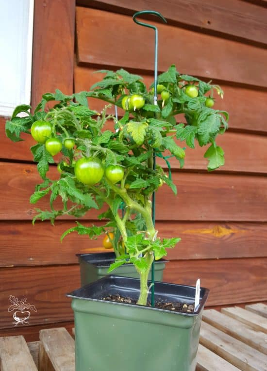 give your tomato plant support in a container