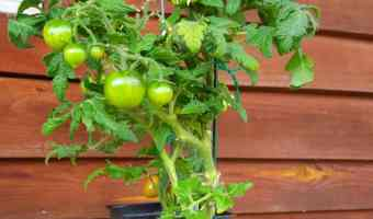 5 Tips To Grow Delicious Tomatoes In Containers