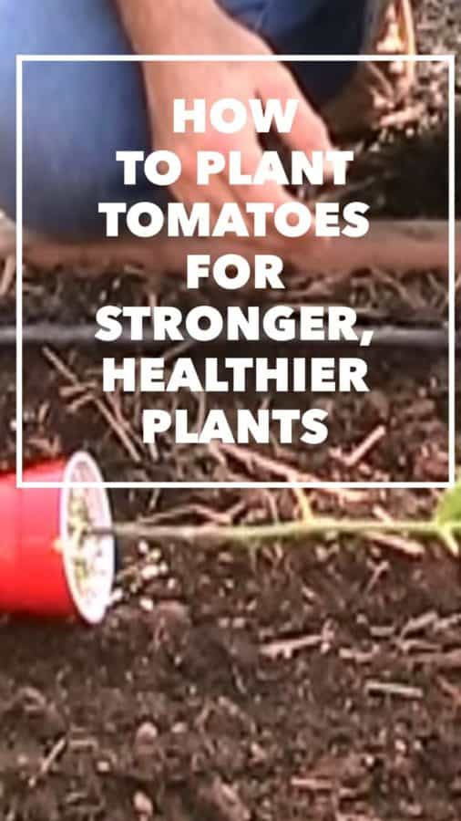 sideways tomato planting for stronger tomato plants