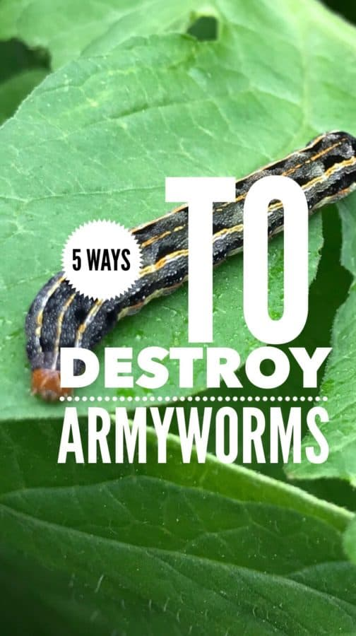 How to Destroy Armyworms