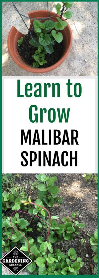 Malibar Spinach