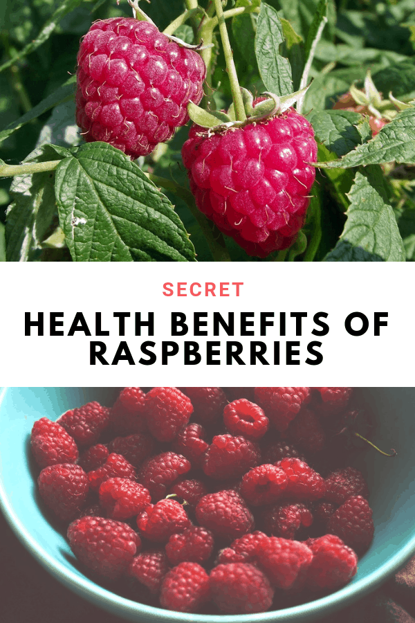 raspberry bush and harvested raspberries in bowl with text overlay secret health benefits of raspberries