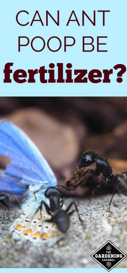 Ant poop as fertilizer