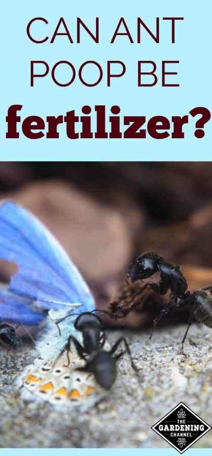Ant poop as fertilizer