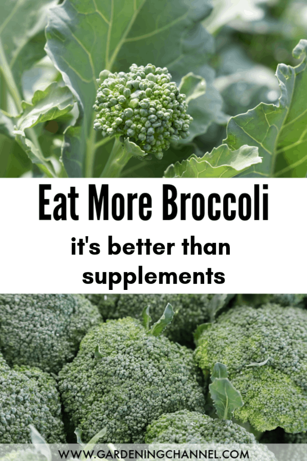 broccoli growing and harvested with text overlay eat more broccoli it's better than supplements