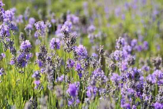 lavender growing