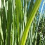 Grow lemon grass to keep pests away