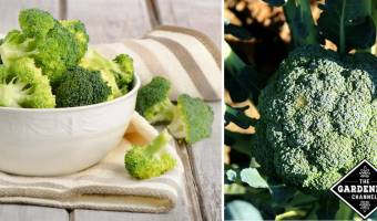 Broccoli and leaky gut