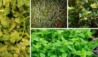 easy to grow herbs