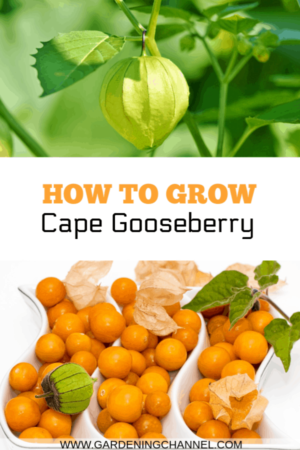 cape gooseberry plant and harvested groundcherries with text overlay how to grow cape gooseberry