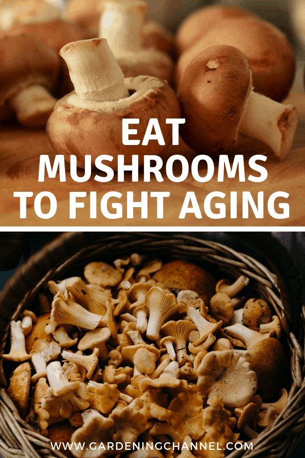 mushrooms in kitchen and fresh harvested mushrooms with text overlay eat mushrooms to fight aging