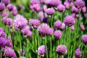 chives blooming