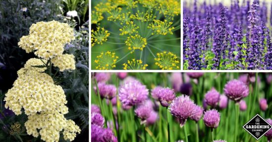 Flowering herbs with beautiful blooms