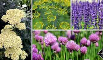 11 Flowering Herbs with Beautiful Blooms