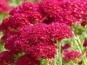 yarrow red blooming