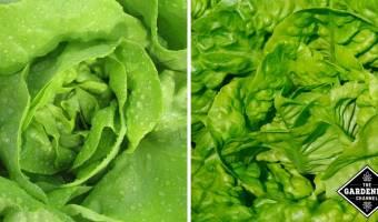 how to grow bibb lettuce