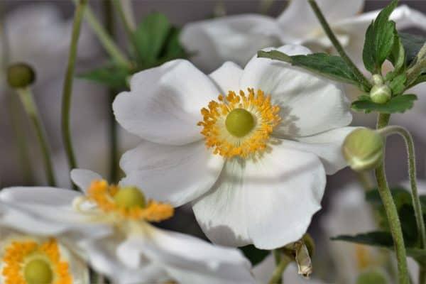 white anemone flower