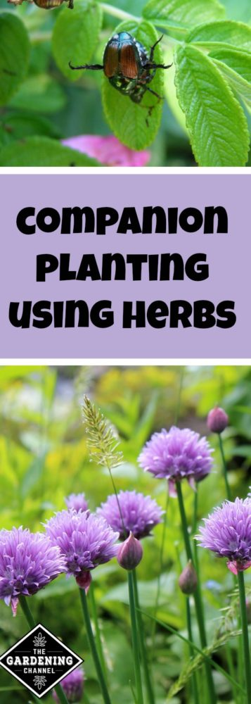 companion planting with herbs