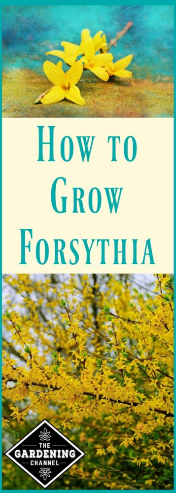 Learn to grow forsythia, one of the first plants to bloom in spring. Forsythia can grow to 10 feet high.