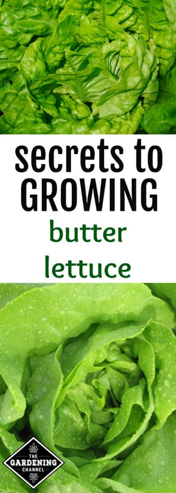 Butter lettuce is a variety of lettuce included in the category known as butterhead. Butterhead includes lettuces such as butter lettuce, Boston lettuce, and Bibb lettuce.