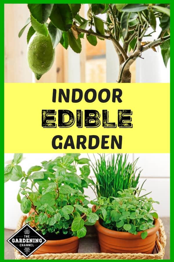 indoor citrus tree and indoor potted herbs with text overlay indoor edible garden