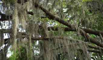 spanish moss growing