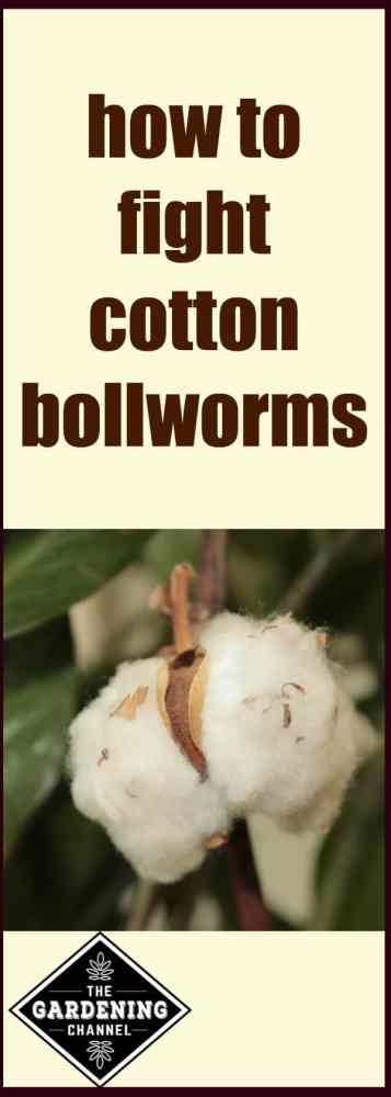 How to fight cotton bollworms in your garden.The adult form is a moth, which is easy to spot. To stop them from destroying your harvest, they must be controlled before adulthood.