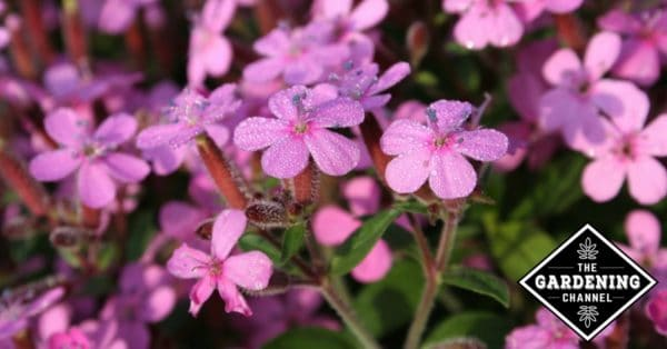 growing herb soapwort with pink flowers
