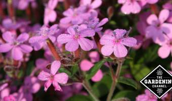 growing herb soapwort with purple flowers
