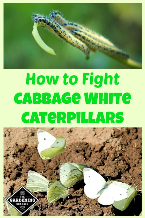 cabbage white caterpillar and cabbage white butterflies in garden with text overlay how to fight cabbage white caterpillars