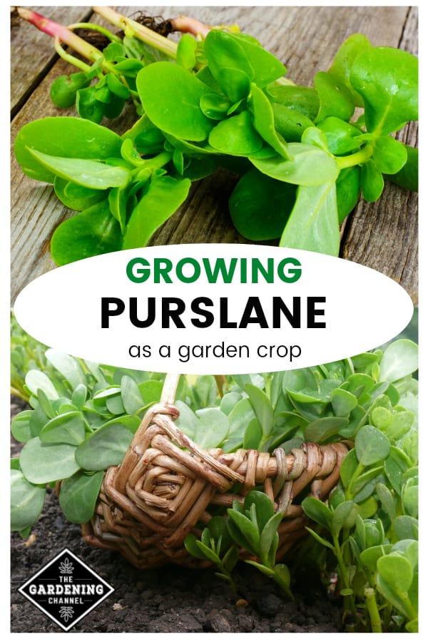 purslane harvested and purslane growing with text overlay growing purslane as a garden crop