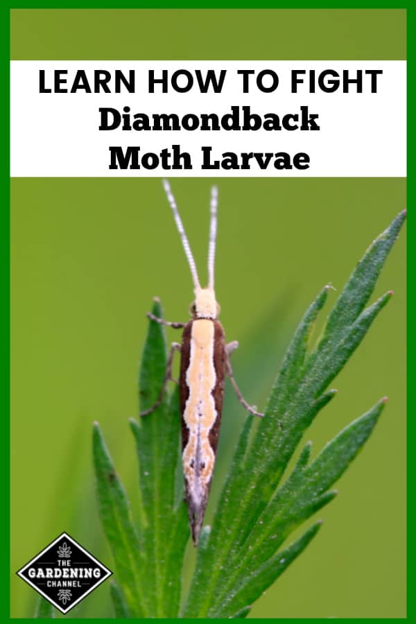closeup of diamondback moth on leaf with text overlay learn how to fight diamondback moth larvae