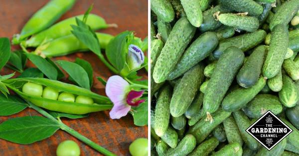 peas and cucumbers from garden companion plants